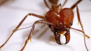 How metal-implanted jaws give a few ants an especially sharp nibble